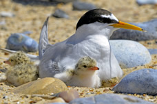 Bumper breeding year for rare seabird in Northumberland
